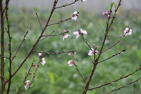 雨中的桃花20150308