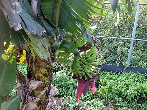 第一串香蕉