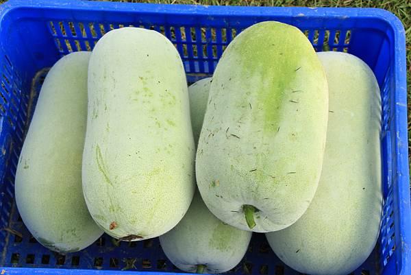 收穫的冬瓜