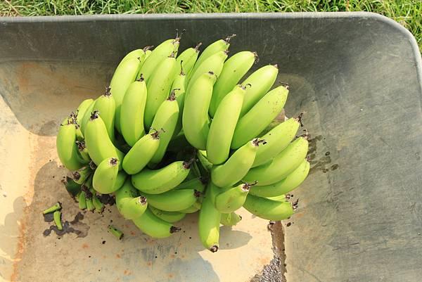 木溪採收的第一串香蕉