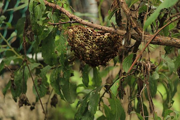 李樹上的蜂窩