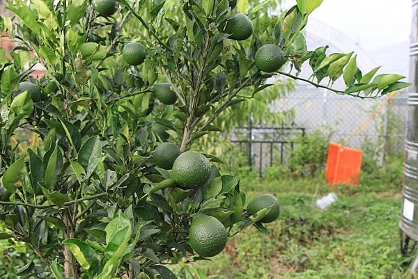 長大中的柑橘