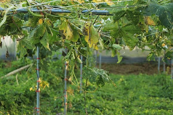 颱風過後的絲瓜