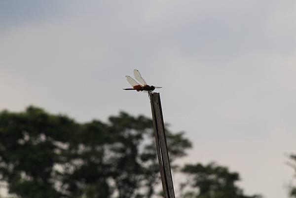 背部隆起的蜻蜓