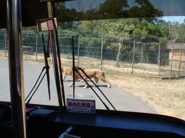 過馬路的獅子