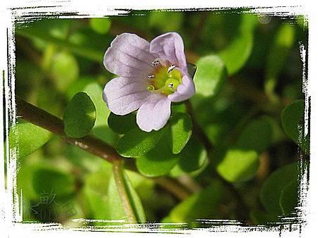過長沙(紫花)