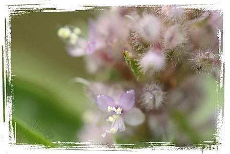 蔓蘘荷、聚花草