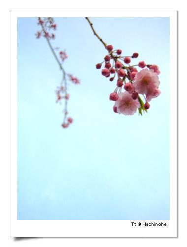 堅持很久才抓到的櫻花