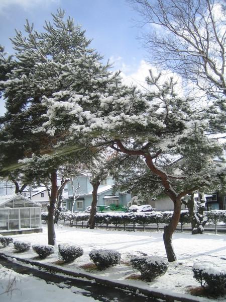 小學前的松樹