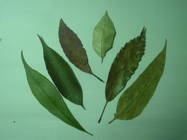 一些特別的葉子