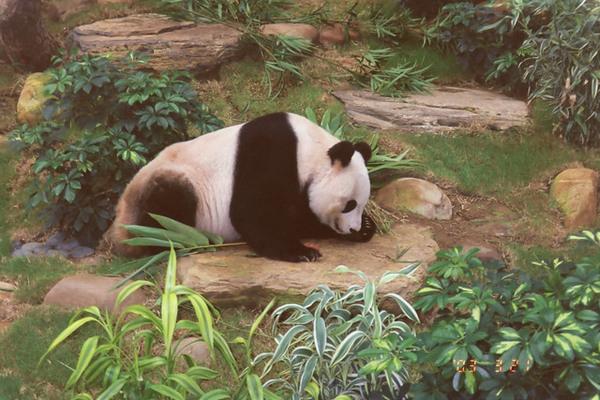 海洋公園可愛的熊貓