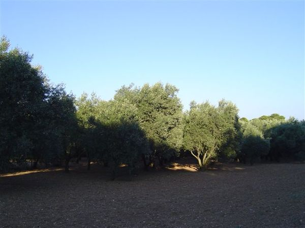 整大片的橄欖樹