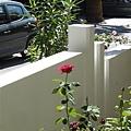 公公庭院中的玫瑰