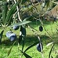 黑黑的橄欖