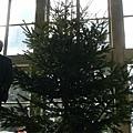聖誕樹搬來了