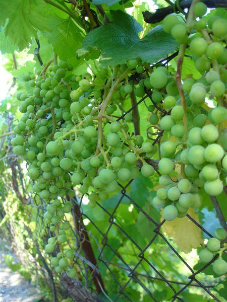 多的嚇人的成串葡萄