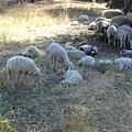 或坐或睡的綿羊