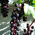 博物館旁住屋的果樹