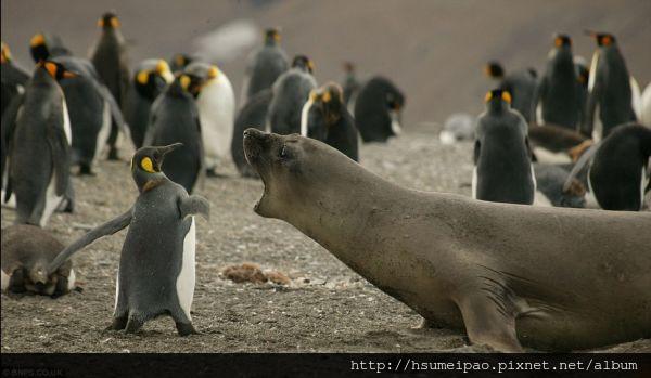 小企鵝打海象巴掌 海象發怒咆哮