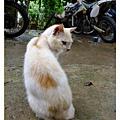 長老大白貓