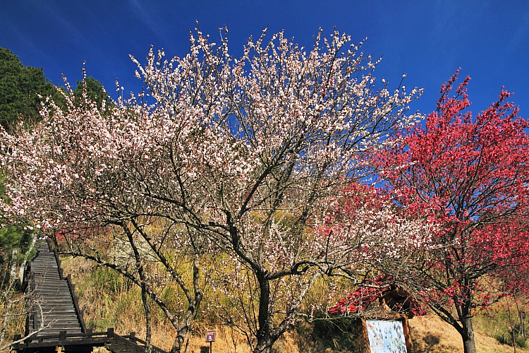武陵農場賞櫻3