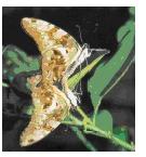 綠斑鳳蝶.bmp