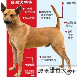 台灣犬.jpg