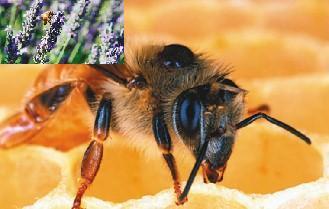 蜜蜂與ccd.jpg