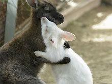 白子袋鼠.jpg