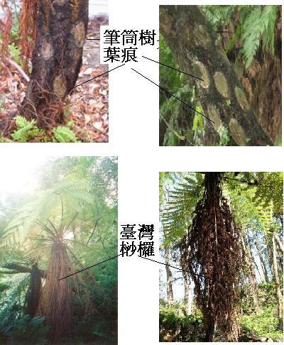 筆筒樹和臺灣桫欏.bmp