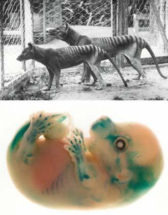 袋狼基因植入老鼠.jpg