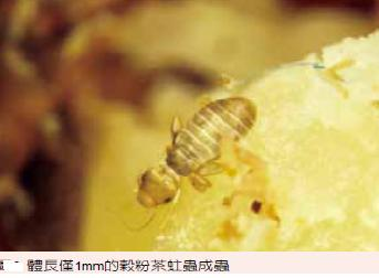 穀粉茶蛀蟲