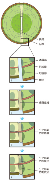 接穗與砧木傷口癒合過程.jpg