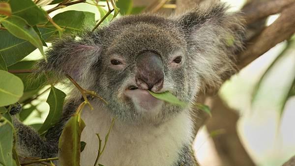 koala-eat_517e936cbea3cf6c.jpg