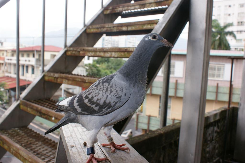 13-007984 斑白羽