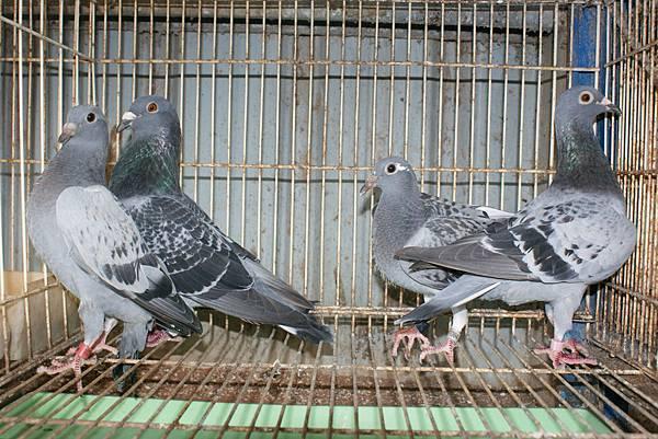 13-007984 斑白羽 夏季 賽鴿父母