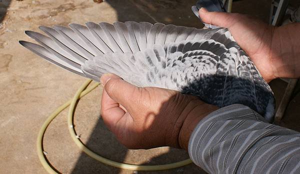 13-158783斑母庫柏左翅1