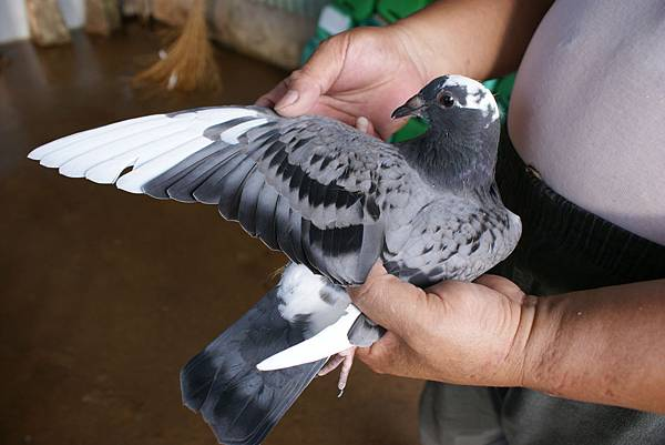 14-799490 斑白羽左翅