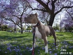 藍花楹下的比特犬
