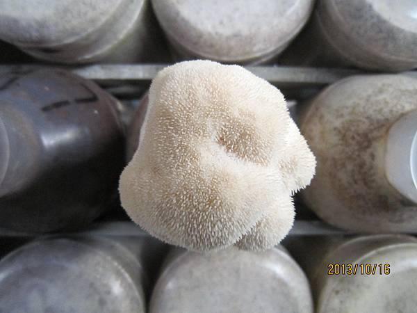 豐年靈芝菇類生態農場(喉頭菇)