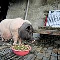 知本溫泉區,一隻叫咪咪的迷你豬