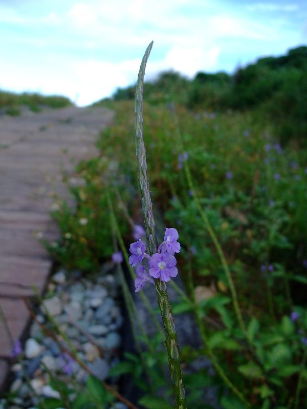 夏日藍嶼路旁的花