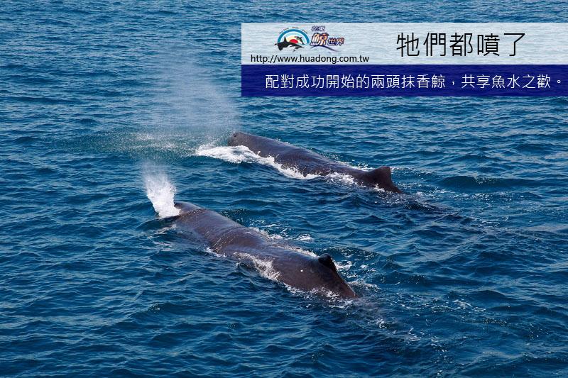 0603抹香鯨噴氣特寫拷貝.jpg