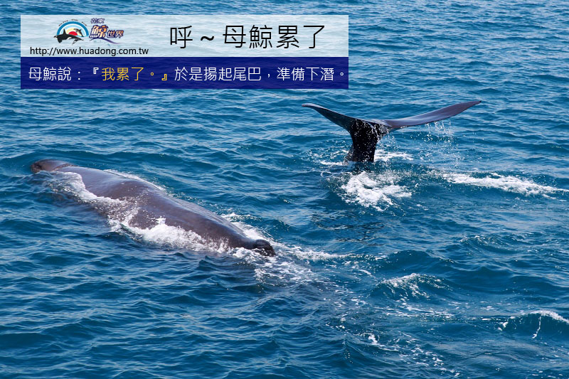 0701母鯨揚尾潛水01拷貝.jpg