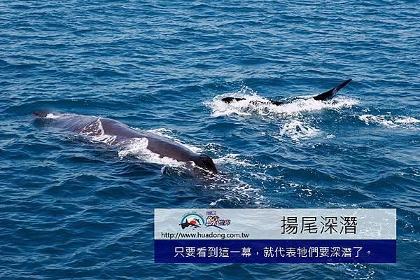 0704母鯨揚尾潛水04拷貝.jpg