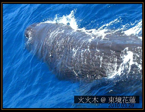 抹香鯨04.jpg