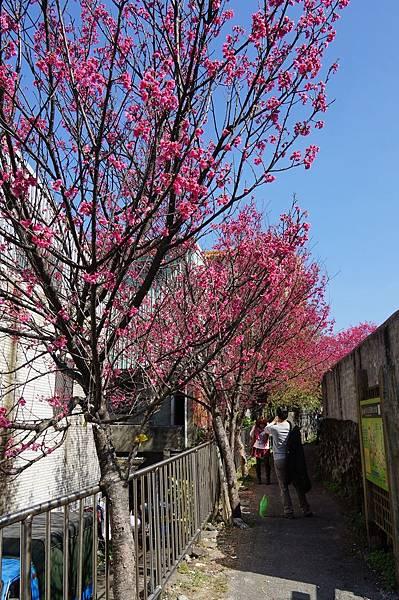 淡水景點推薦-2014年天元宮賞櫻花(0203開花狀況)