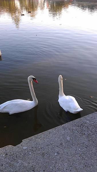 the swans in disney village