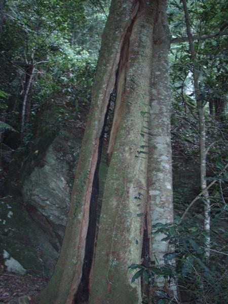 慘遭落雷直劈的大樹
