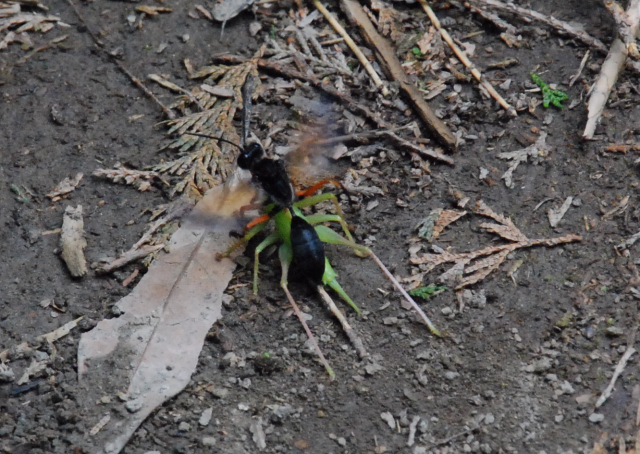 1胡蜂及螽蜤.JPG